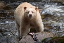 The environment of Kermode bears would be at risk from oil spills. Photo / AP