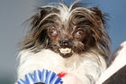 Peanut, a strong contender and deserving winner of the Ugly Dog Contest. Photo / AP