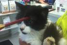 Moomoo the cat, who was shot in the head with a crossbow bolt late last year.