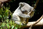The koala is one of Australia's cutest creatures. Photo / Jo Assink