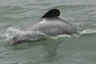 There are estimated to be only 55 Maui's dolphins left. Photo/File