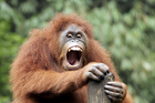 In Asia, Sumatran orangutans are believed to have declined by 50 per cent since 1992. Photo / Thinkstock