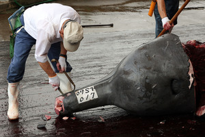 An investigator inspects a Baird's Beaked whale caught at Wada Port in Minamiboso, Chiba, Japan. Photo / File / Getty Images