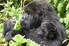 Mountain gorillas are critically endangered. Photo / File