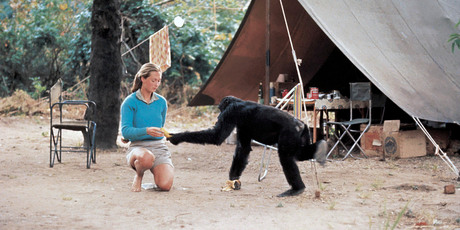 A younger Jane Goodall with chimp David Greybeard at Gombe Stream Chimpanzee Reserve. Photo / Supplied