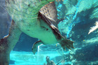 Shandelle Battersby swims with Chopper the crocodile in the Cage of Death at Crocosaurus Cove, Darwin. Photo / Madeleine Watson, Crocosaurus Cove