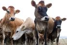 Fiber Fresh-reared Jersey calves.
