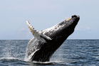 The Humpback whale. File / APN