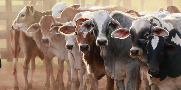 US beef prices are up 74 per cent since 2009 to the highest on record, after a seven-year decline in the herd left the fewest cattle in at least six decades. Photo / 123RF