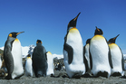 Emperor penguins routinely trek between 50 and 130 kilometres over the ice to catch and deliver krill and fish. Photo / Thinkstock
