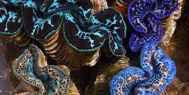 The once-thriving giant clam population of the Aitutaki Lagoon in the Cook Islands is on the brink of extinction.