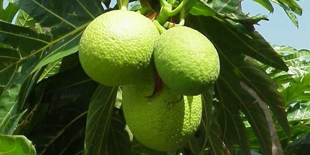 A breadfruit can feed a family for two days.