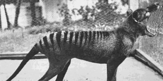 The last known thylacine photographed at Beaumaris Zoo in 1933.