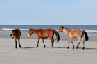 Wild horses are free to roam on Georgia's largely undeveloped Cumberland Island. Photo / Thinkstock