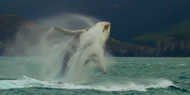 Humpback whale breaching. Photo / supplied