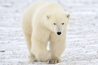 A polar bear dragged an Eton schoolboy from his tent and inflicted 'mortal wounds'. Photo / Thinkstock