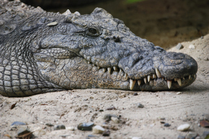 The only surviving passenger has blamed an escaped crocodile for the plane crash. Photo / Thinkstock
