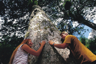 Hug a Coromandel kauri survivor. Only a few stands of the trees survived the area's extensive deforestation. Photo / Supplied