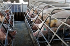 TVNZ footage reveals conditions factory farmed pigs live in.