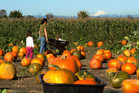 Families seek the best and brightest pumpkins at Swans Trail, near Snohomish north of Seattle. Photo / Pamela Wade