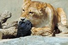 A lion chewing a pair jeans at the Kamine Zoo in Hitachi city in Ibaraki prefecture, eastern Japan. Photo / AFP