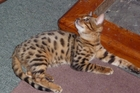 MISSING: Echo, an 11-month-old Bengal Asian leopard cat is missing in the Opaki area after escaping from a local cattery. PHOTO/SUPPLIED
