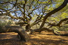 Visitors flock to see the huge Angel Oak on Johns Island near Charleston. Photo / Thinkstock