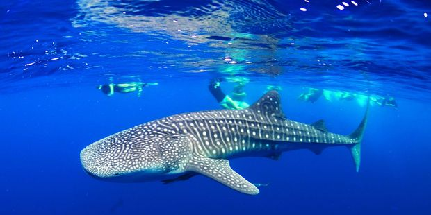 Diving with whale sharks is popular on the Ningaloo Reef, Western Australia.