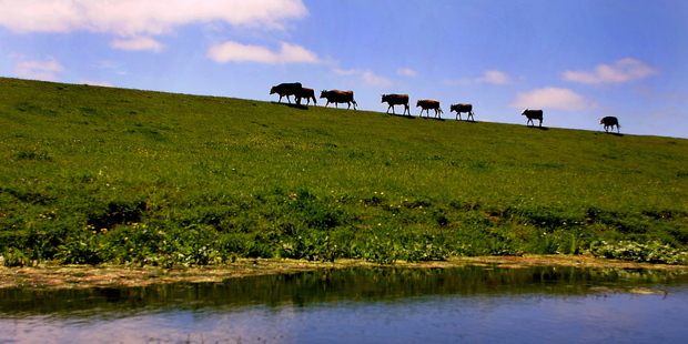 Unfenced rivers on dairy farms are a major problem for water quality. Photo / APN