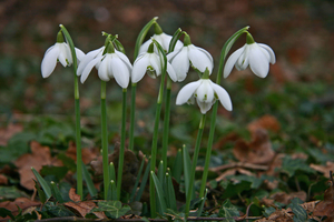 Snowdrops are a popular flower to pinch. Photo / Creative Commons