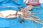 An image of a giant squid fished up off the coast of Japan.