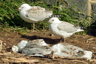 Red-billed gulls stand beside dead fledglings at Taiaroa Head. Photo / Stephen Jaquiery