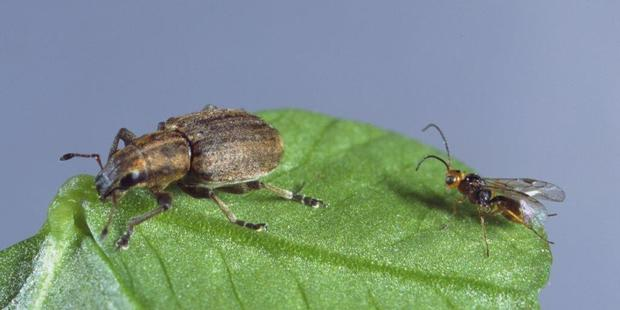 The tiny Irish wasp, right, has been deployed to combat the spread of the clover root weevil, through the South Island.