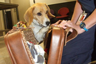 Zeta, a Ministry for Primary Industries employee, investigates the contents of a suitcase. Photo / Christina McDonald.