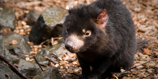Translocation has been attempted with species such as the Tasmanian Devil. Photo / Thinkstock