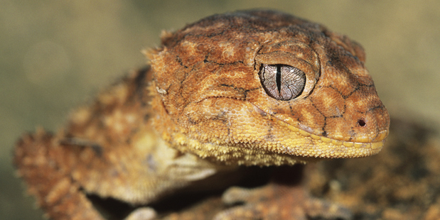 The lizards are largely left alone to do as they please. Photo / Thinkstock