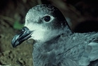 Grey-faced petrels are breeding again in Hawke's Bay thanks to land owners and hundreds of volunteers. Photo / File