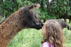 Getting up close and personal with the friendly creatures at Greenmount Llamas. Photo / Supplied