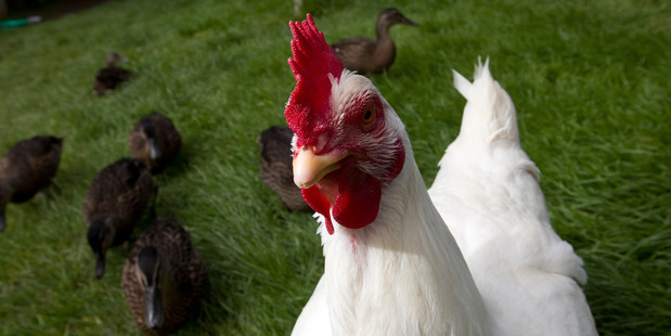 Got chickens in your backyard? Better count 'em. Photo / Michael Craig