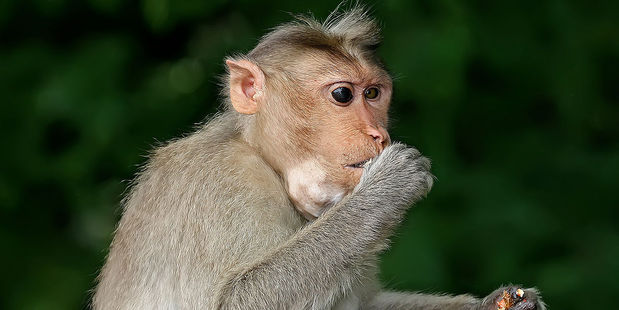 Macaque monkeys often attack Government staff for food. Photo / Wikimedia Commons