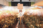 BUST: This indoor cannabis growing operation at Hannahs Bay led to a jail term. PHOTO/SUPPLIED
