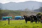 A milk tanker leaves Fonterra's Te Rapa dairy factory. Photo / Christine Cornege.