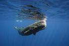 A sperm whale off Sri Lanka. Photo / Thinkstock