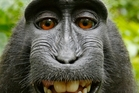 The macaque's selfie has triggered a bizarre dispute. Picture / Picture Media
