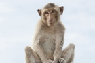 Monkeys caused the greatest number of animal-related travel claims, says Southern Cross Travel Insurance.