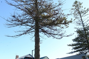 The Norfolk pines were originally planted as part of a Marine Parade redevelopment programme. Photo / Duncan Brown