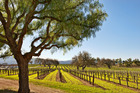 More than 50 grape varieties flourish in the 175 wineries scattered through the Santa Barbara region.