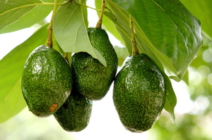 About 2000 stolen avocados are unsafe to eat. Photo / Thinkstock