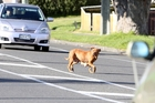 ON THE LOOSE: Stray dogs have sparked a number of complaints in Wanganui lately.PHOTO/FILE