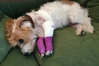 Charlie the long-haired jack russell terrier ran up a $956 vet bill after being bitten by a bigger dog.